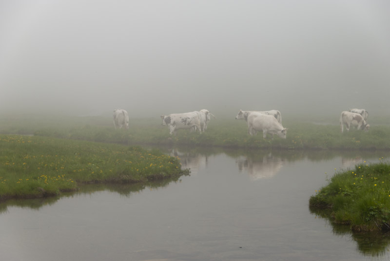 Cows in the fog (or in a cloud...)