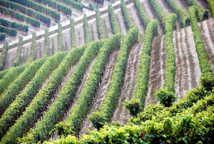 Grape-vine pattern