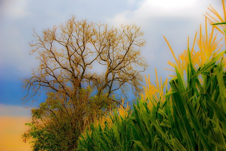 Colourful cornfield and sky